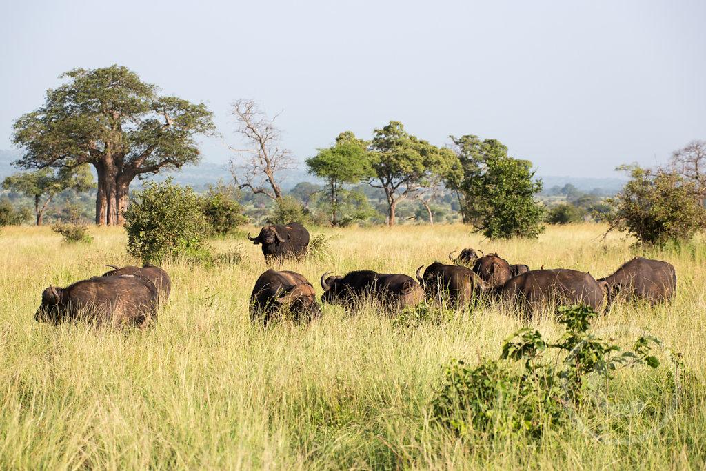 A herd of buffalos