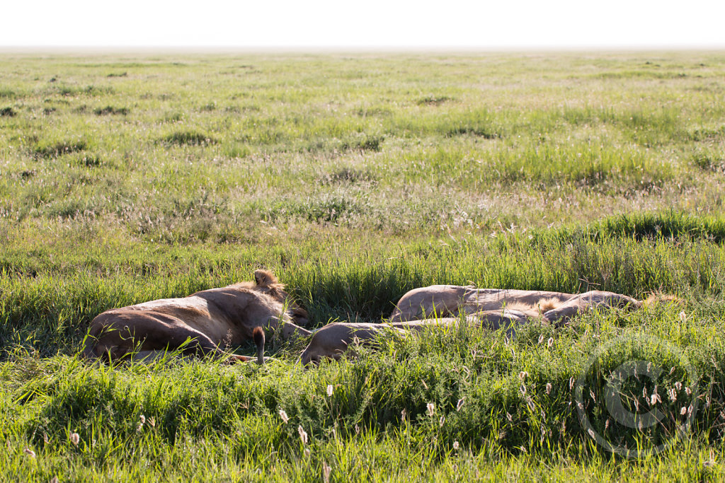 Where does the lion sleep tonight?
