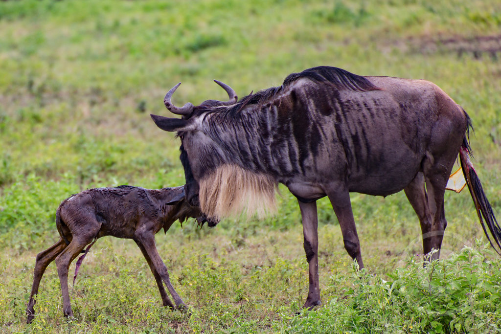 Newborn gnu walking