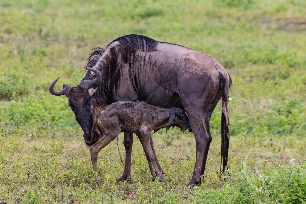 Newborn gnu