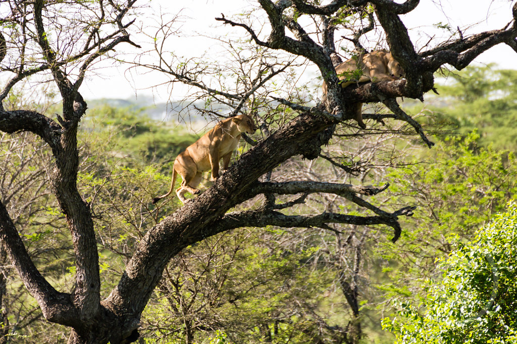 Lions can climb trees