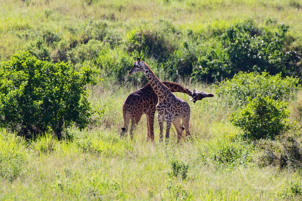 Giraffe fighting