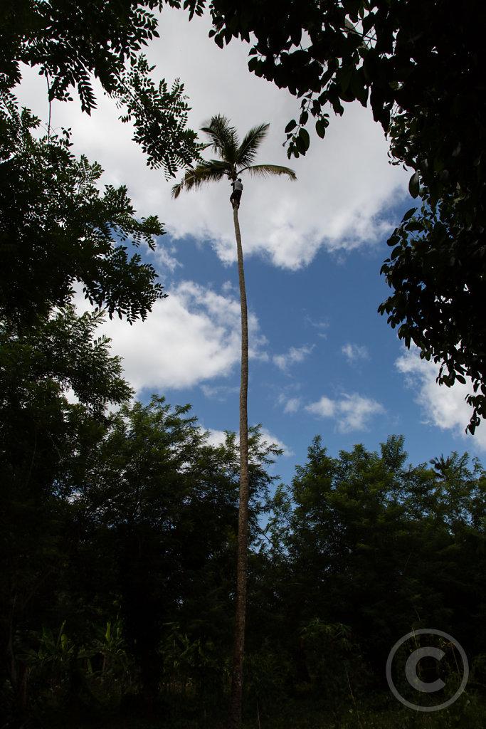 Climbing a palmtree